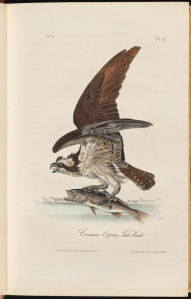 Common Osprey Fish Hawk from Birds of America, by John James Audubon, 1844. Volume I. Museum of the City of New York. 52.24.2A.