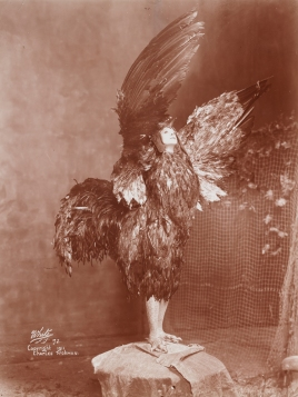 "Maude Adams in the title role of ""Chantecler"", 1911. From the Theater Collection. Museum of the City of New York, 48.367.52."