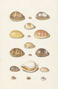 Johann Gustav Hoch, Seventeen large and small tropical kaurie shells, ca 1726 - 1779. Rijksmuseum, RP-T-1881-A-105.