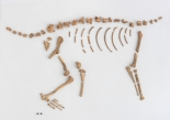 Fragments of a dog found together allow archaeologists to reconstruct the dog's skeleton. Image courtesy of Museum of the City of New York.