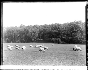 Robert L. Bracklow (1849-1919). Sheep in Prospect Park. Museum of the City of New York. 93.91.391
